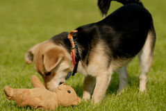 Dog with teddy bear. Picture of dog playing with teddy bear on the grass Stock Image