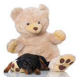 Dog with teddy bear Royalty Free Stock Photography