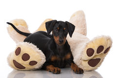 Dog with teddy bear Royalty Free Stock Photos