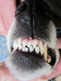 Dog teeth (11). Dangerous teeth of a dog Royalty Free Stock Photography