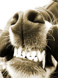 Dog teeth (13) Stock Image