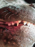 Dog teeth, new growth, teething. Growth of new adult incisor teeth in the mouth of a teething 5 month old Staffordshire Bull Terrier dog. The baby canine tooth Stock Images