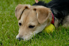 Dog with tennis-ball. Picture of dog lying on the grass with tennis ball Stock Photo