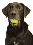 Dog with tennis ball. Isolated on white background stock photos