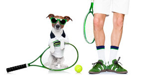 Dog tennis ball player. Jack russell dog with owner as tennis player with ball and tennis racket or racquet isolated on white background Stock Image