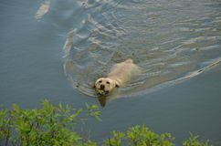 Dog with tennis ball. Swimming in the water Stock Image