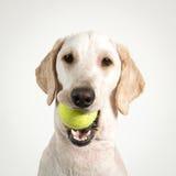 Dog tennis. Stock Photography