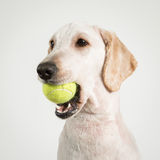 Dog tennis Stock Images