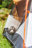 Dog in a tent Royalty Free Stock Image