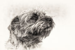 Dog, terrier, head, obedience, loyalty, trust, black, white, sta Royalty Free Stock Image