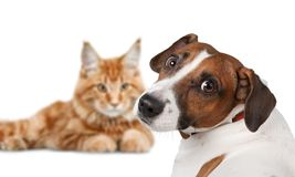 Dog Jack Russell terrier and cat on white. Dog terrier jack russell terrier domestic animal brown and white fun beautiful royalty free stock photos
