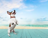 Cute small dog Jack Russell terrier on  background Royalty Free Stock Images