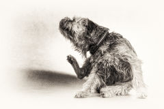Dog, terrier, scratch, scratching, paw, black, white, copy space. The hairy dog is sitting and scratching itself. Black and white fine art portrait of cute Stock Photography