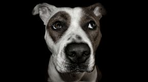 Dog terrier staffordshire bull terrier Stock Images