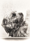 Dog, terrier, submission, head, loyalty, black, white, closeup,. Closeup on the hairy dog and shoulders lying on his back in sign of submission. Fine art royalty free stock images