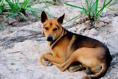 Dog Thai Stock Images