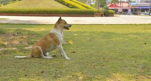 Dog Thai is in the public parks. On the grass Stock Photos