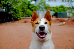 Dog in Thailand Royalty Free Stock Photography