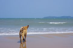 Dog on the Thailand beach. A dog is walking on the beach and looking to the island in Thailand Stock Images