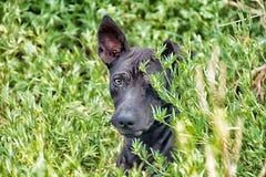 Dog Thailand. Blackdog black heather Fourground Royalty Free Stock Photography