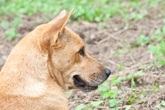 Dog Thailand. Stock Images