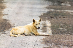 Dog ,thailand. Female dog is breed native in Thailand Stock Images