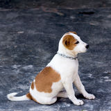 Dog ,thailand Royalty Free Stock Photos