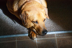 Dog Thinking about Life. Brown and black dog, canine is laying on the edge of the carpet and hard floor.  Thinking about life and looking into the distance.  The Stock Photo