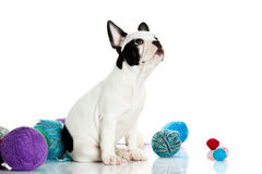 Dog with threadballs isolated on white background. French bulldog with threadballs close-up objects for postcard design nice pet looking and waiting for stock images