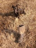 The dog and thrown the boots. In the field stock images