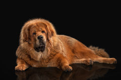 Dog. Tibetan mastiff on black background Stock Images