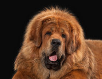 Dog. Tibetan mastiff on black background Royalty Free Stock Images
