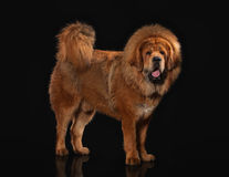 Dog. Tibetan mastiff on black background Royalty Free Stock Photography