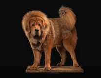 Dog. Tibetan mastiff on black background Stock Photo