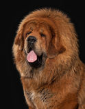 Dog. Tibetan mastiff on black background Royalty Free Stock Photos
