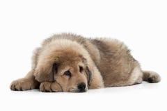 Dog. Tibetan mastiff puppy on white background Stock Photo