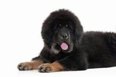 Dog. Tibetan mastiff puppy on white background Royalty Free Stock Images