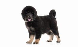 Dog. Tibetan mastiff puppy on white background. Tibetan mastiff puppy on white background stock photo