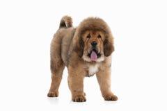 Dog. Tibetan mastiff puppy on white background Royalty Free Stock Photography