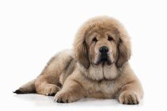 Dog. Tibetan mastiff puppy on white background Royalty Free Stock Image