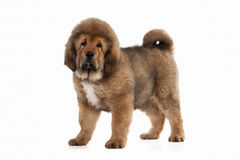 Dog. Tibetan mastiff puppy on white background Stock Image