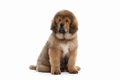 Dog. Tibetan mastiff puppy on white background Stock Photo