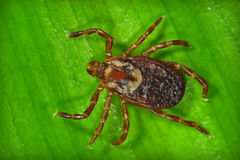 Dog Tick Royalty Free Stock Photo