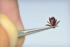 Dog Tick Removal Royalty Free Stock Photos