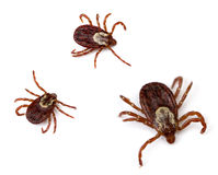 Dog Ticks. Three American Dog Ticks (Dermacentor variabilis) isolated on white background royalty free stock photo