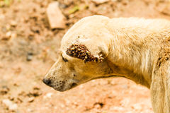 Dog ticks Royalty Free Stock Photos