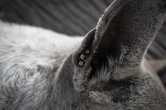 Dog ticks Royalty Free Stock Photography