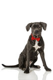 Dog with tie Royalty Free Stock Image