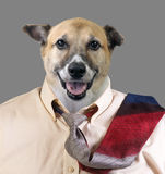 Dog with Tie Ready for the Office. Stock Image