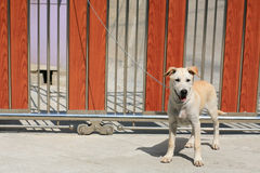A dog tied by metal chain on the gate Stock Images